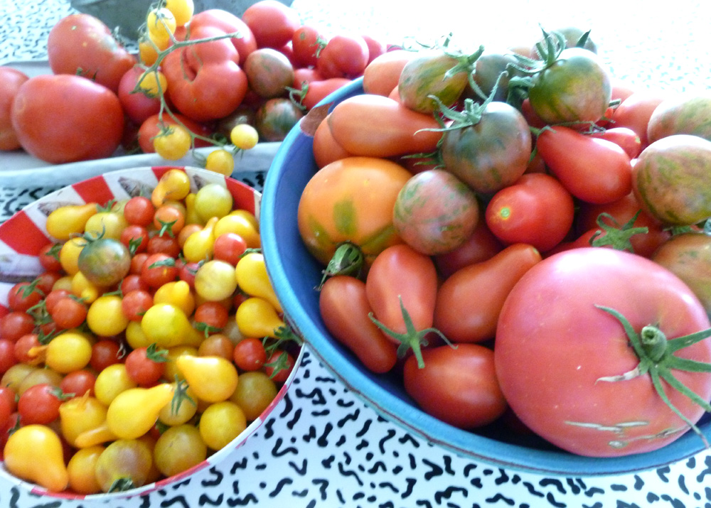 tomato harvest 2