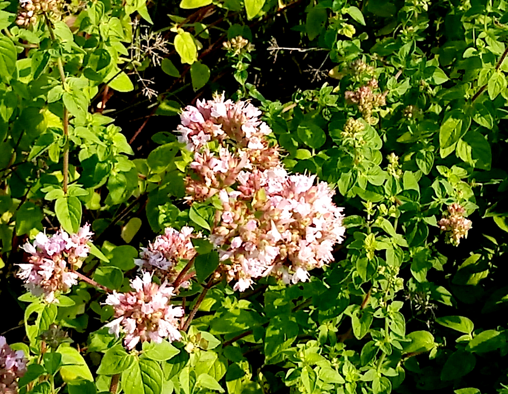 common oregano 2