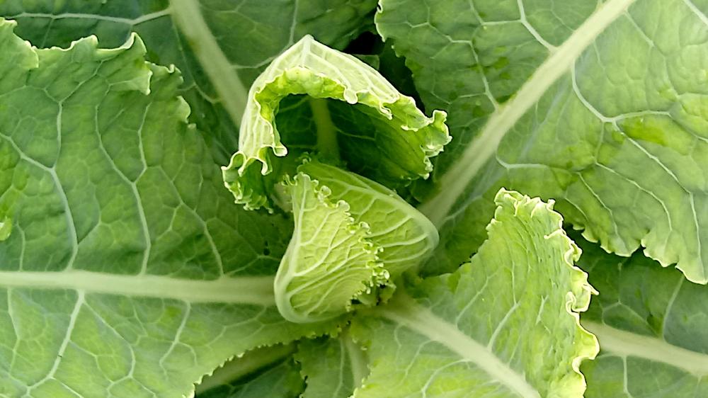 filderkraut cabbage forming a head 2