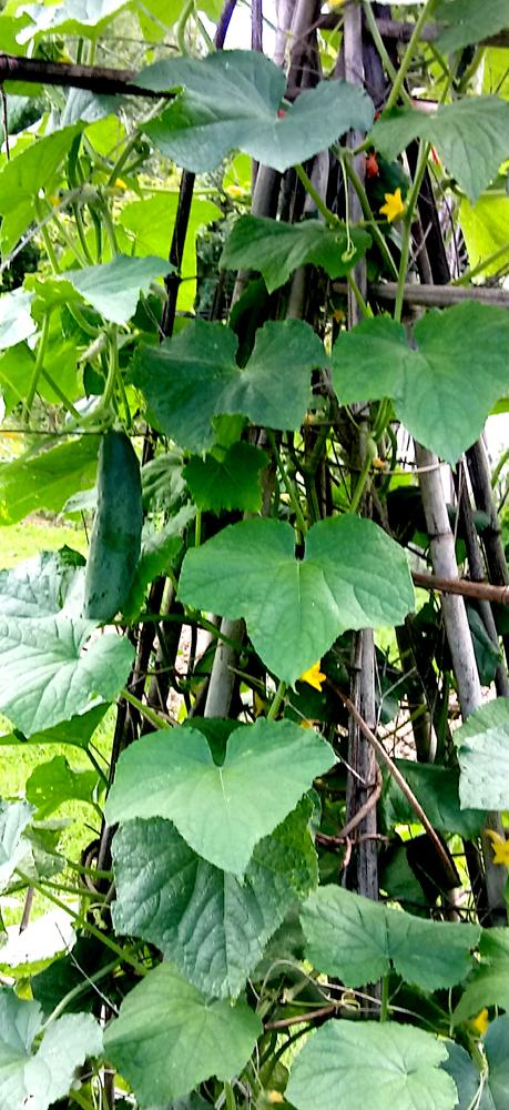 Japanese climbing cucumbers 2